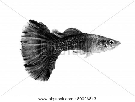Black Guppy Fish Isolated On White Background