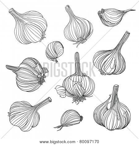 Set of different garlic bulbs. Hand drawing.