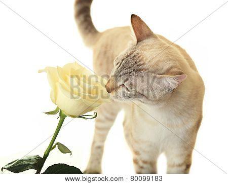 Cat sniffing rose.