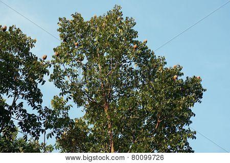 Mahogany Tree With Frui