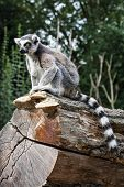 Постер, плакат: Watchful Ring tailed Lemur Sitting On The Tree Trunk