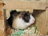 stock photo of guinea  - cute brindled guinea pig baby hiding in its shelter
