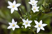 image of bethlehem  - White flowers and buds of Ornithogalum umbellatum (Star-of-Bethlehem)
