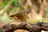pic of babbler  - beatiful Rusty - JPG