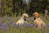 pic of obey  - Two female Labradors sitting in the wildlflowers obeying the stay command - JPG