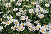 pic of chamomile  - The field of chamomile in the forest - JPG
