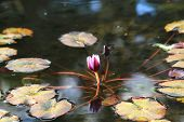 stock photo of water lilies  - Water Lily flower - JPG