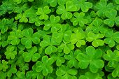 picture of redwood forest  - Carpet of clover leaves on the forest floor - JPG