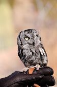 stock photo of screech-owl  - A small screech owl perched on his handlers hand - JPG