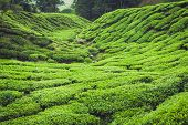 stock photo of cameron highland  - Green tea plantation Cameron highlands Malaysia Asia - JPG
