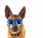 picture of chihuahua mix  - a small chihuahua mix with goggles on isolated on a white background - JPG