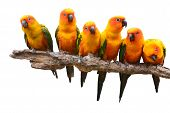 picture of sun perch  - Six of Sun Conure Parrot bird perching on a branch white background - JPG