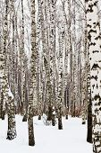 stock photo of birchwood  - white birch trees in snow covered woods - JPG
