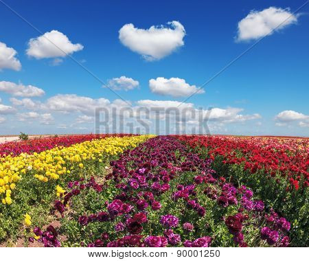 Endless fields of purple, yellow and red flowers. Spring on a farm on cultivation of buttercups garden.