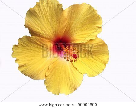 Colorful Yellow Hawaiian Hibiscus Flower Detail
