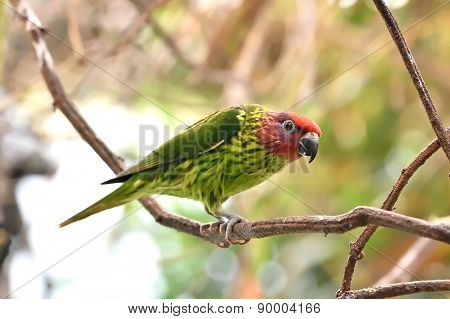 Goldies Lorikeet (psitteuteles Goldiei)