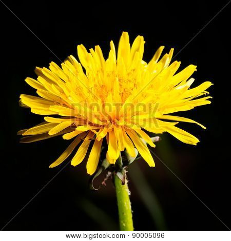 Dandelion (taraxacum Officinale) Flower Head