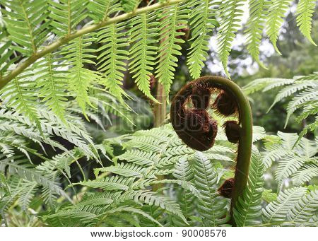 Sprout Of Fern