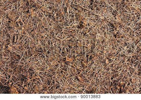 Dry Pine Needles Background