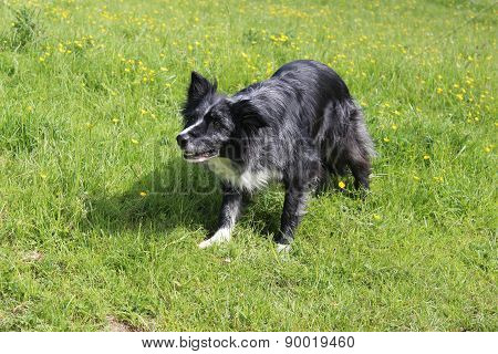 Collie Crouch