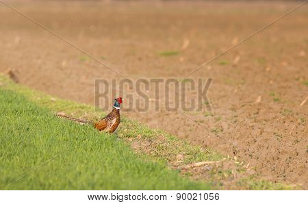 Pheasant Standing On Ground