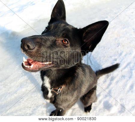 Dog  Shepherd
