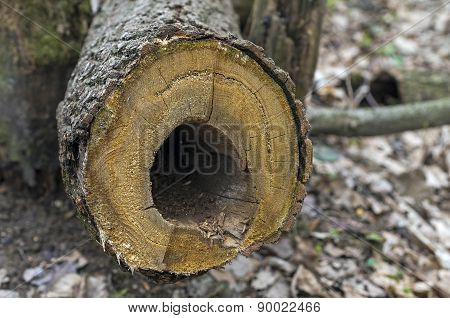 Cross-section Of A Dried Tree.