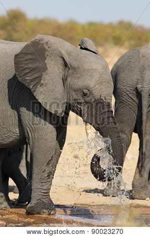 Elephant Drinking And Splashing Water On Dry And Hot Day