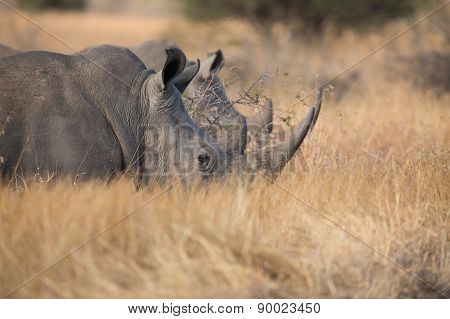 Lone Rhino Standing On Open Area Looking For Safety From Poachers