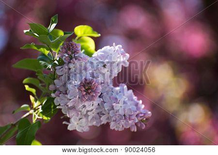 Liliac Branch