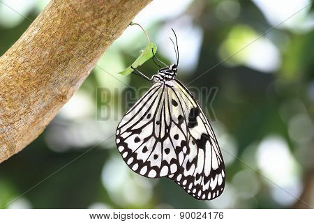 Large Tree Nymphs butterfly and green leaf
