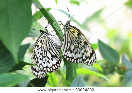 Large Tree Nymphs butterflies mating