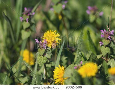 Bumblebee On A Dandelion. Summer Background