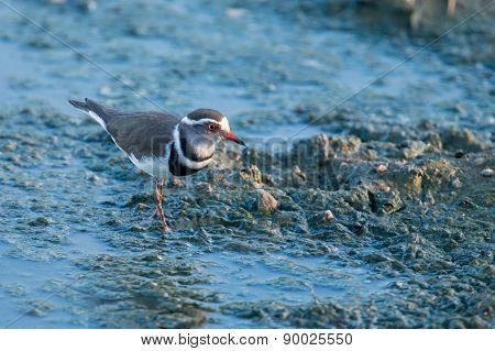 Small Three Banded Plover Wading On Muddy Shore Of A Pond