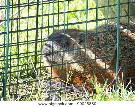 Groundhog Caught