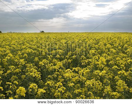 Bright Yellow Field Under Sky With Clouds