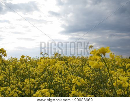 Flowers Of Oilseed Rape Close Up Against The Sky