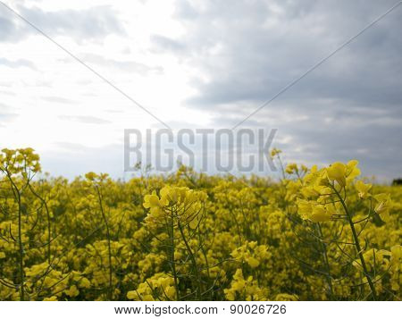 The Yellow Field On Blue Sky Background