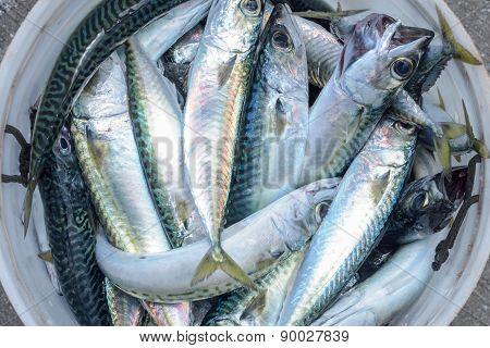 Bucket Full Of Mackerel Fish
