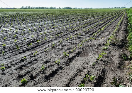 Recently Planted Celery Seedlings In Rows