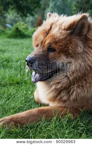 beautiful red dog chow lying on the grass