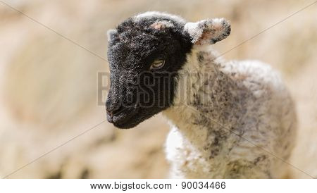 New born spring lamb