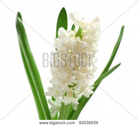 Beautiful hyacinth isolated on white