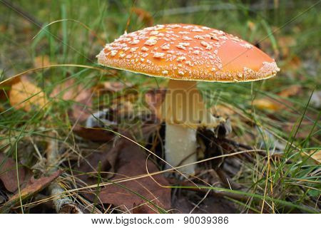 spotted toadstools in the woods