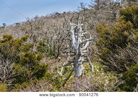 White Dead Yew Trees At Yeongsil Trail