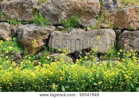Rape Flowers Against A Jeju Traditional Wall
