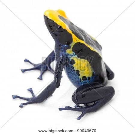 poison arrow frog, dendrobates tinctorius from the tropical Amazon rain forest in Guyana, Brazil and Suriname