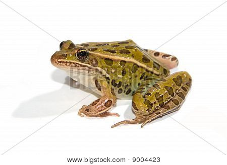 Leopard Frog Isolated on White