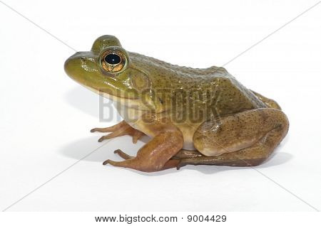 Bullfrog Isolated on a White Background