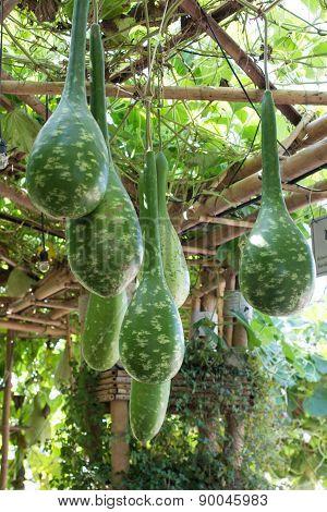 Bottle gourd in garden